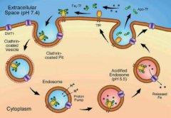 转铁蛋白和铁蛋白的区别是什么